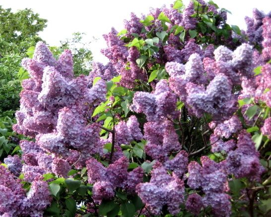 Lilacs in Garden, Charlton, UK 2009